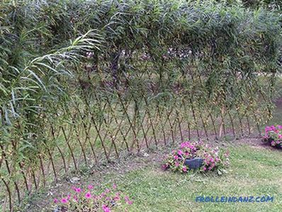 Fast-growing perennial hedge in the country