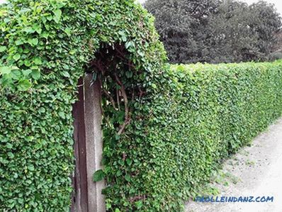 How to make a hedge in the country with their own hands (+ photos)